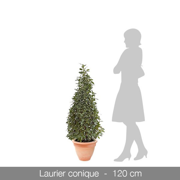 laurier-conique